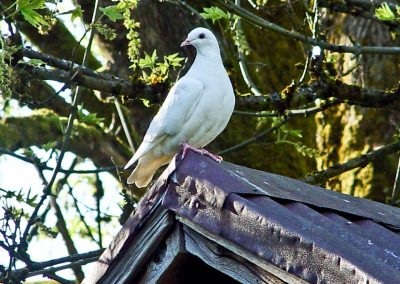 Matteson white homing pigeon on roof 1280 x 960 web